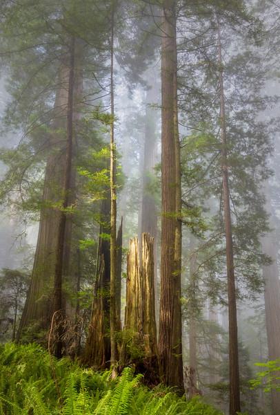 Spotlit Redwood Trunk, Damnation Creek