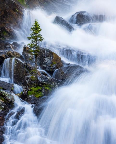 Hidden Falls Pine, Grand Teton NP