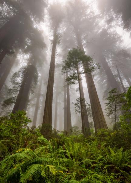 Redwoods in Fog, Damnation Creek Trail