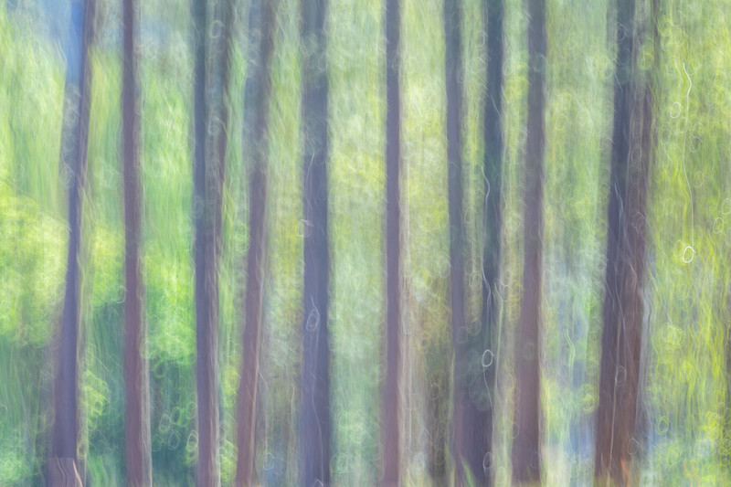 Ahwahnee Meadow Abstract, Spring Green Foliage and Pines