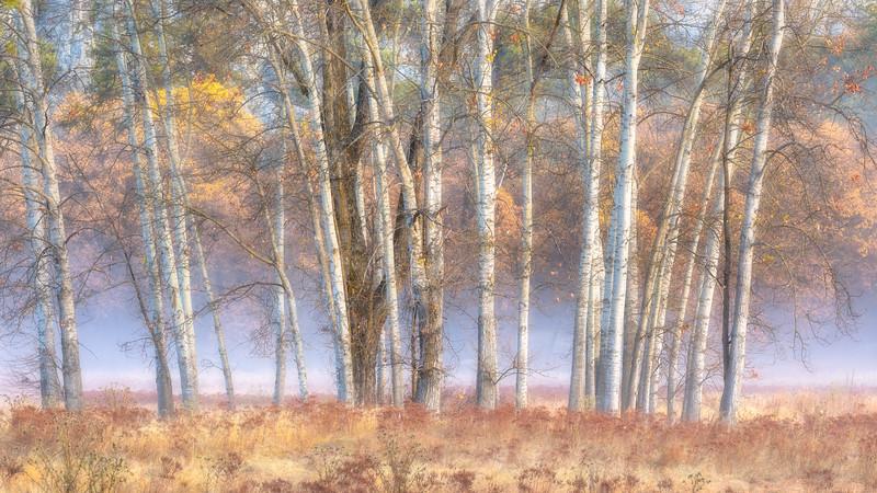 Trees in Mist, Ahwahnee Meadow YNP