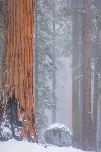 Burnt Sequoia and Boulder in Fog