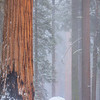 Burnt Sequoia and Boulder in Fog