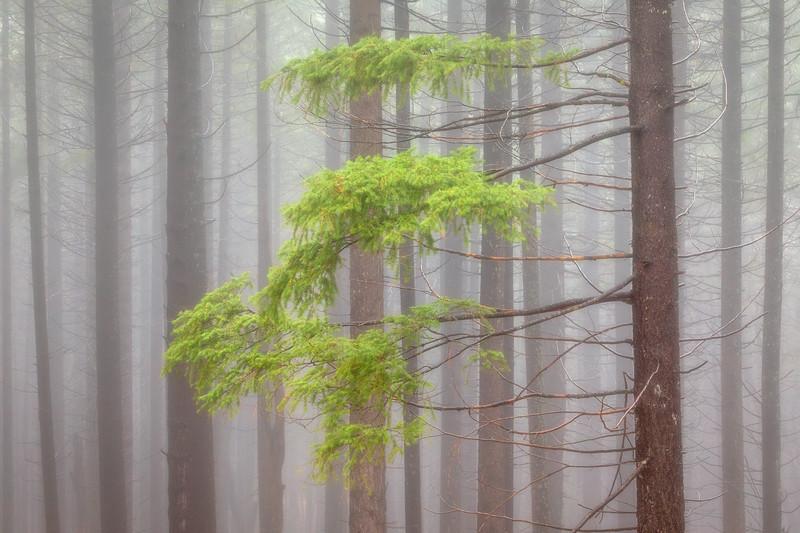 Misty Forest, Siskiyou County