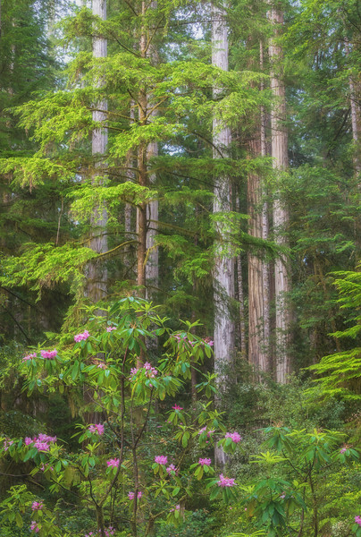 Morning Light Kissed Redwoods and Rhododendrons