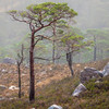 Scots Pine in Mist