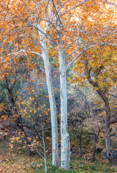 Autumn Palette, Coconino National Forest