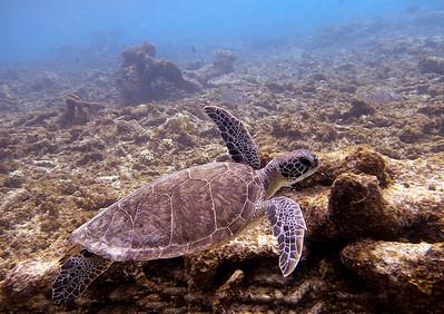 Bonaire Turtle