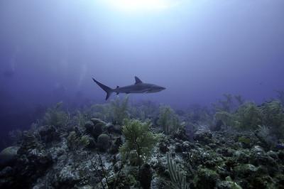 Turks shark 3