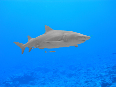 Lemon Shark Swimby