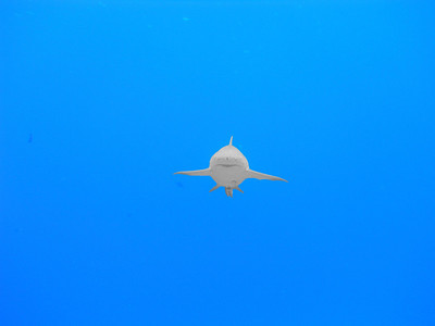 Lemon Shark Approach