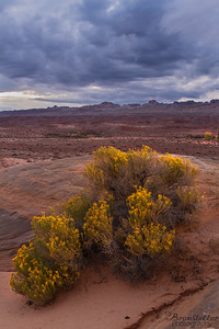 Rabbitbrush Sunset