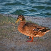 The Woodlands Duck