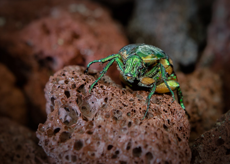 Green June Bettle