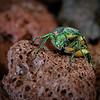 Green June Bettle
