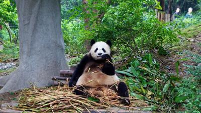 Panda Research Base, Chengdu