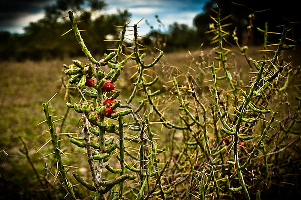 South Texas Cactus