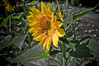 Sunflower at Boggy Creek Farms