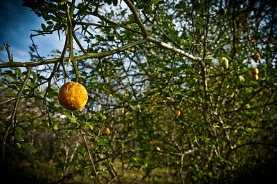 South Texas Wild Lemon