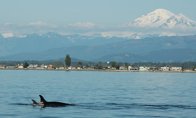 Mom and calf in the shadow of Mt. Baker.