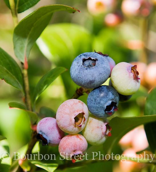 Blueberry Pastel