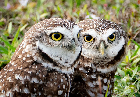 Owl Mates