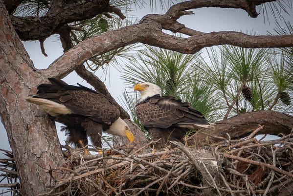Eagle Nesters I