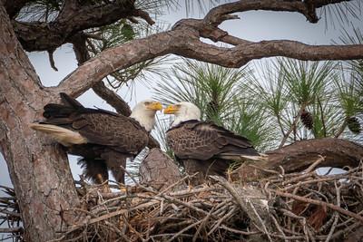 Eagle Nesters II