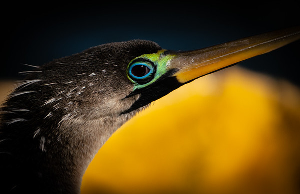Eyes of the Anhinga