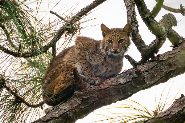Ever Watchful Bobcat