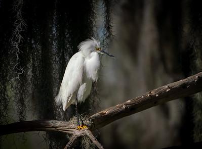 Mossy Snowy Egret