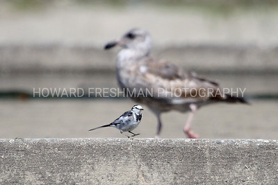 White Wagtail (black backed)