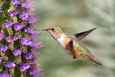 Allen's Hummingbird (male); Huntington Beach, California