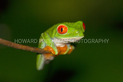 Red-eyed Tree Frog, Costa Rica