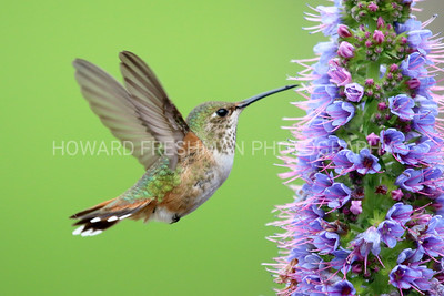 Allen's Hummingbird (female)