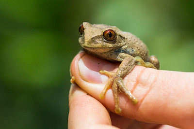 Tree frog (Leptopelis sp.)