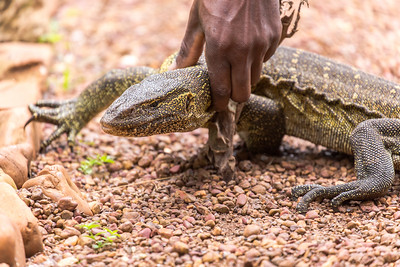 Nile Monitor lizard (Varanus niloticus) handled