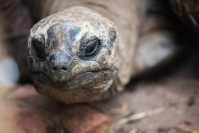 Aldabra tortoise (Aldabrachelys gigantea)