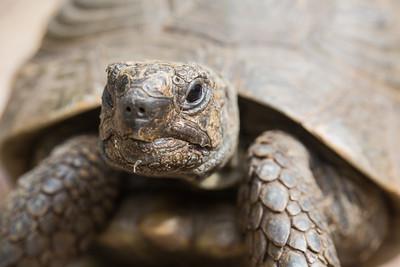 African spurred tortoise (Centrochelys sulcata) head