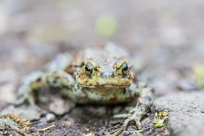 European / common toad (Bufo bufo)