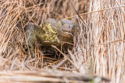 Nile Monitor Lizard