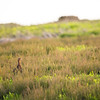 female grouse (Lagopus lagopus) in heather environment landscape
