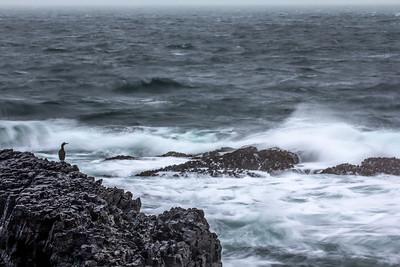 European Shag (Phalacrocorax aristotelis) by stormy seas