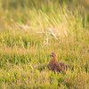female red grouse (Lagopus lagopus) in heather environment, portrait.
