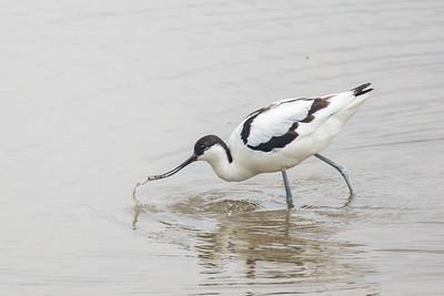 Avocet (Recurvirostra avosetta) fishing