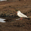 Black-headed gull (Chroicocephalus ridibundus) winter plumage