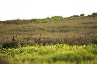 female grouse (Lagopus lagopus) group
