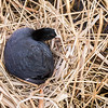 Adult coot on a nest (Fulica atra)