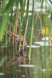female Bearded Tit (Panurus biarmicus) fishing on reed