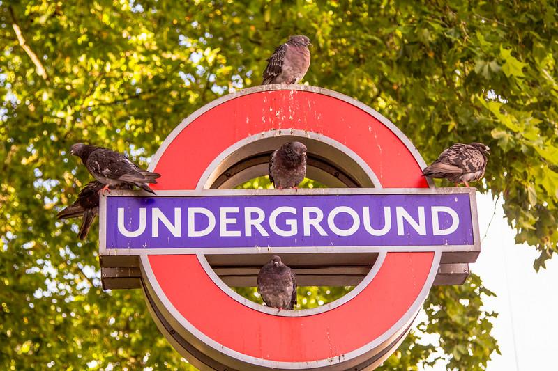 Pigeon on the Underground (Columba livia domestica)